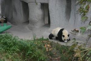 Panda Reserve in Chengdu