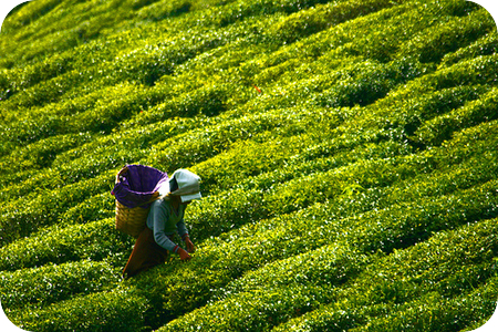tea_plantation_darjeeling_by_lucanicae