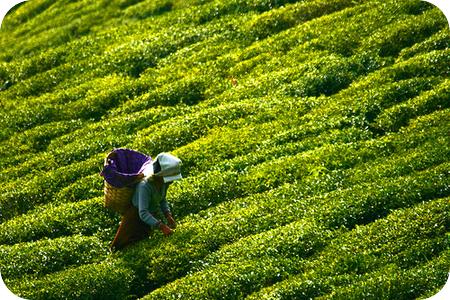tea_plantation_darjeeling_by_lucanicae